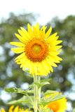 Sunflower at blooming are yellow in wide field country royalty free stock image