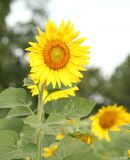 Sunflower at blooming are yellow in wide field country stock images
