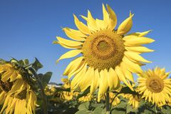 Sunflower blooms  against blue skies. Field of sunflowers blooming in early morning sun against blue skies Royalty Free Stock Photography