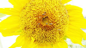 Sunflower blooms Stock Image