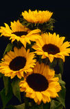 Sunflower blooms (Helianthus annuus) Royalty Free Stock Photography