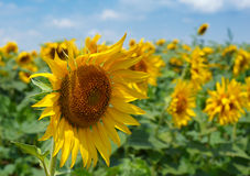 Sunflower blossom Stock Photography