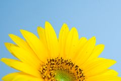 Sunflower Blossom Stock Image