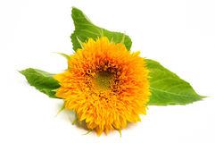 Sunflower Blossom Stock Photo
