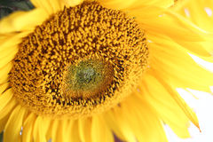 Sunflower blossom Stock Images