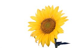 Sunflower blossom Royalty Free Stock Photography