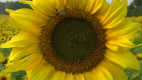 Sunflower Blossom stock video