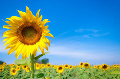 Sunflower blossom with blue sky Royalty Free Stock Photography