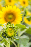 The sunflower blossom bud stock images