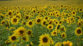 Sunflower Blossom stock footage