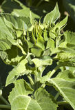 Sunflower blossom in early stages Royalty Free Stock Photo