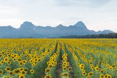 Sunflower blossom field with mountain background Royalty Free Stock Image