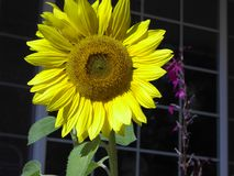 Sunflower Blossom. A sunflower blossom in front of a window Stock Images