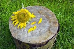 Sunflower blossom head on tree stump Royalty Free Stock Photography