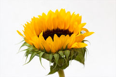 Sunflower blossom (Helianthus annuus) Royalty Free Stock Photography