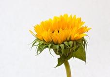 Sunflower blossom (Helianthus annuus) Stock Photography