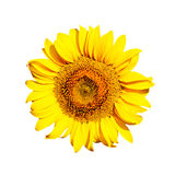 Sunflower blossom isolated on white background Royalty Free Stock Photos