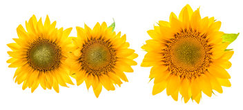 Sunflower blossom isolated on white. Beautiful flower head Stock Photos