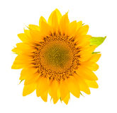 Sunflower blossom isolated on white. flower head Royalty Free Stock Images