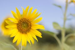 Sunflower blossom in the morning stock photo
