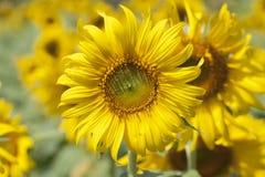 Sunflower blossom season Royalty Free Stock Photos