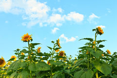 Sunflower blossom. Sunflowers blossom and in full bloom on blue sky Stock Images