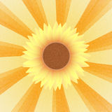Sunflower blossom on sunrays Royalty Free Stock Images