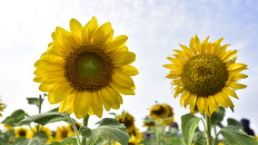 Sunflower blossom. Royalty Free Stock Photos