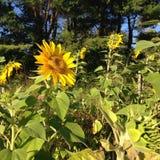 Sunflower blossom Stock Photos