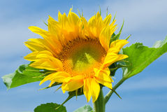Sunflower blossoming closeup Stock Photos