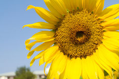 Sunflower blossoming Stock Photo