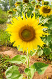 Sunflower blossoming Stock Images