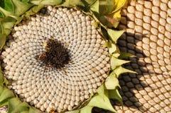 Sunflower blossoms Stock Photo