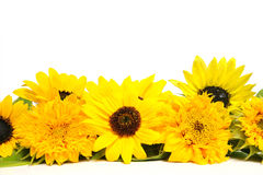 Sunflower Blossoms. Over white background stock images