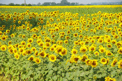 The sunflower blossoms Stock Photography