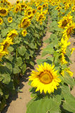The sunflower blossoms Royalty Free Stock Images