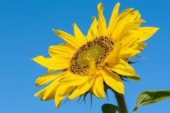 Sunflower blossoms against the blue sky. Sunflower blossoms against the clear blue sky royalty free stock photos