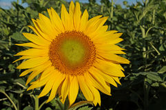 Sunflower blossoms Royalty Free Stock Images