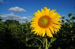 Sunflower blossoms Stock Photos