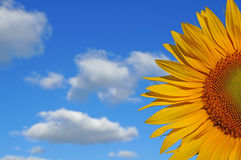 Sunflower blossoms. A flower of a sunflower blossoms on a field of sunflowers on a sunny day stock image