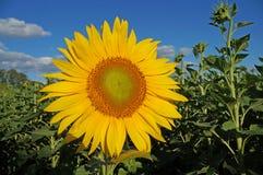 Sunflower blossoms. A flower of a sunflower blossoms on a field of sunflowers on a sunny day stock photo