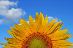 Sunflower blossoms Royalty Free Stock Photo