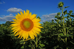 Sunflower blossoms Royalty Free Stock Photos