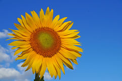 Sunflower blossoms. A flower of a sunflower blossoms on a field of sunflowers on a sunny day royalty free stock image