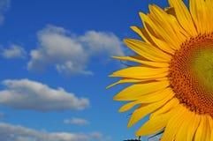 Sunflower blossoms. A flower of a sunflower blossoms on a field of sunflowers on a sunny day stock photos