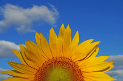 Sunflower blossoms. A flower of a sunflower blossoms on a field of sunflowers on a sunny day stock photography