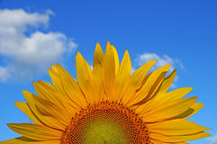 Sunflower blossoms. A flower of a sunflower blossoms on a field of sunflowers on a sunny day royalty free stock images
