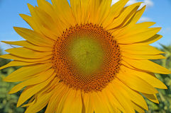 Sunflower blossoms. A flower of a sunflower blossoms on a field of sunflowers on a sunny day royalty free stock photography