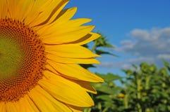 Sunflower blossoms. A flower of a sunflower blossoms on a field of sunflowers on a sunny day stock images