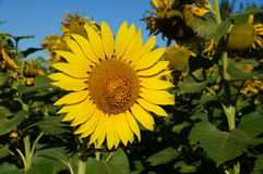 Sunflower blossoms. A flower of a sunflower blossoms on a field of sunflowers on a sunny day royalty free stock photos